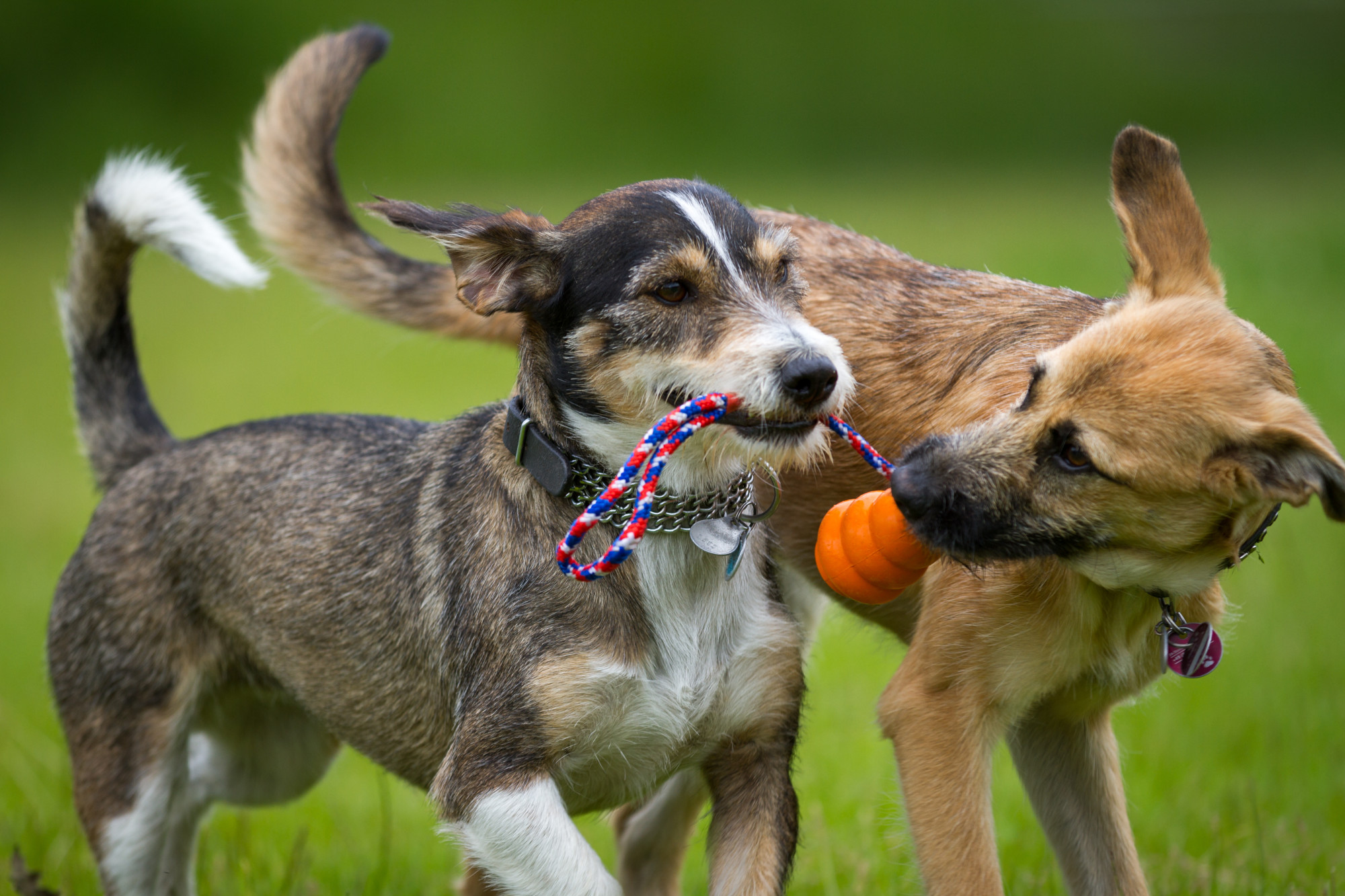 Two dogs playing with a dog toy