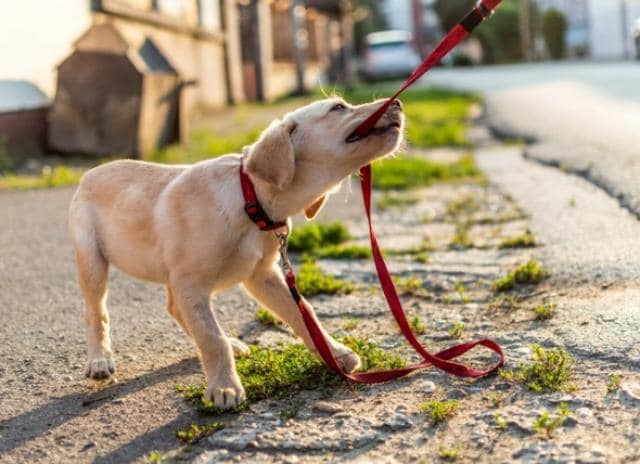Lab pulling on a red leash