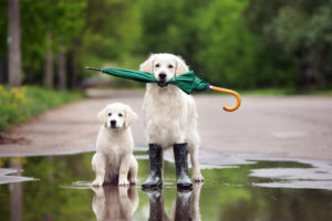Two golden retrievers standing on a puddle. One of them is holding an umbrella