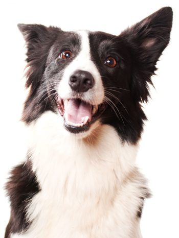 Australian Shepherd Posing for picture and smiling