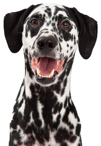 Dalmatian posing for picture