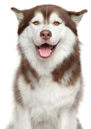 Husky dog posing for picture