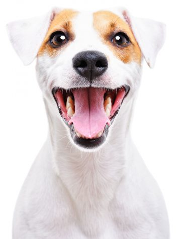 Jack Russell Posting for picture and smiling