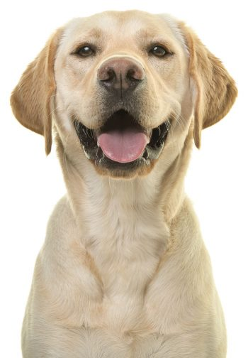 Labrador retriever posting for picture